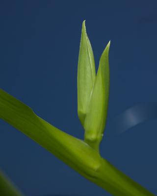 Neomarica gracilis - Page 4 Neomar10