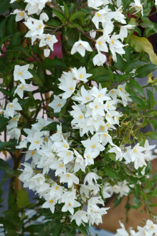 Solanum jasminoides - faux-jasmin Ob_7cb10