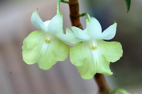 Dendrobium uniflorum Uniflo13