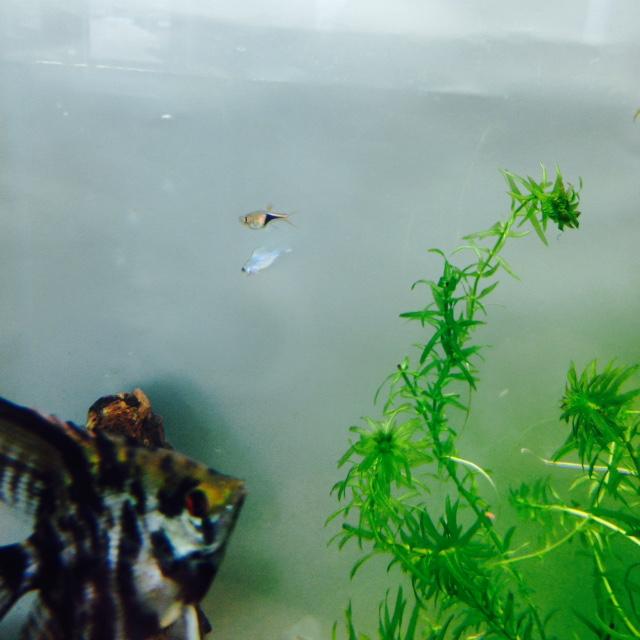 Quelle sorte de poisson? ramirezis bleu électrique Fullsi14