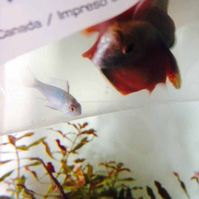 Quelle sorte de poisson? ramirezis bleu électrique Fullsi15