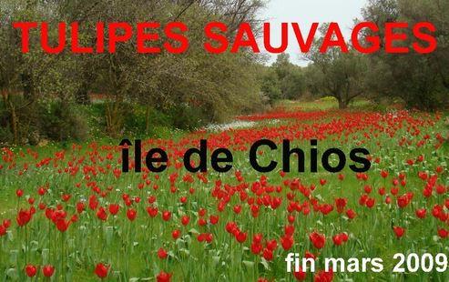 CHIOS : du Mastixa partout Tulipe10