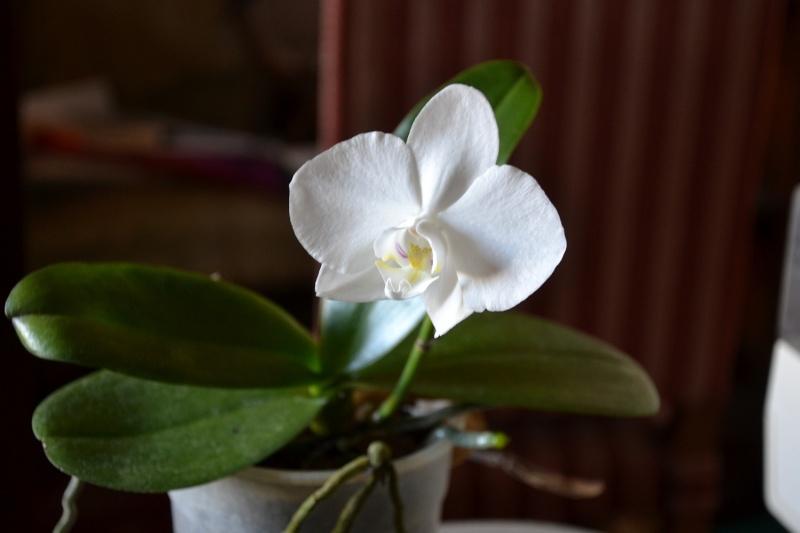Phalaenopsis aphrodite subs formosa Aph2_b10