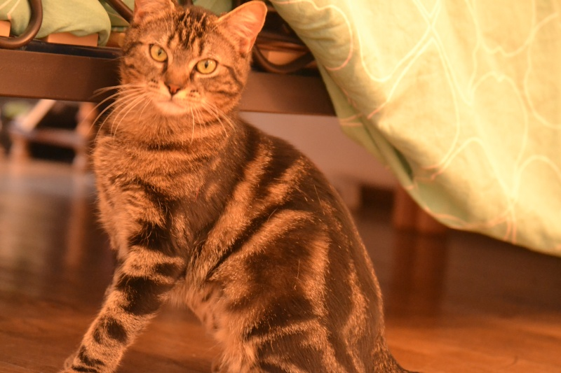 Jilly, femelle type européenne tigrée née 1er avril 2014 Dsc_1310