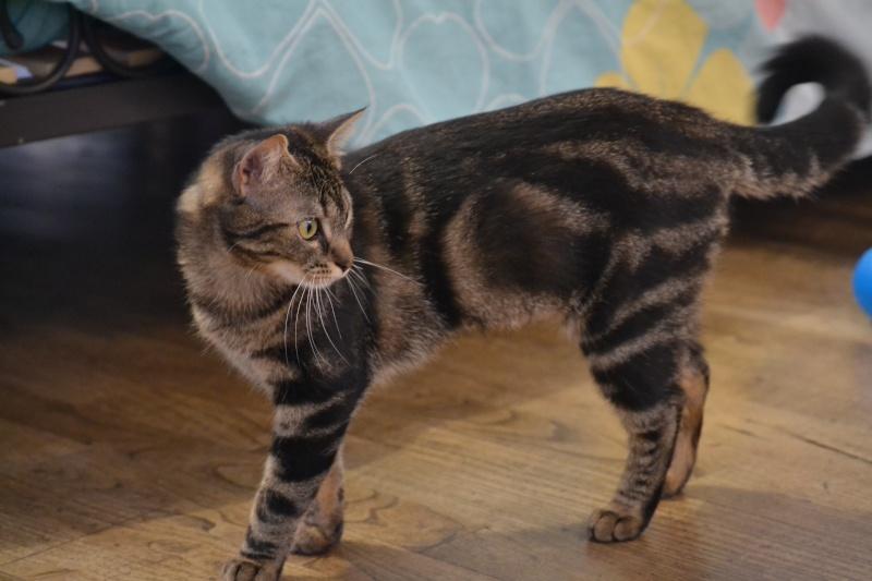 Jilly, femelle type européenne tigrée née 1er avril 2014 Dsc_1311