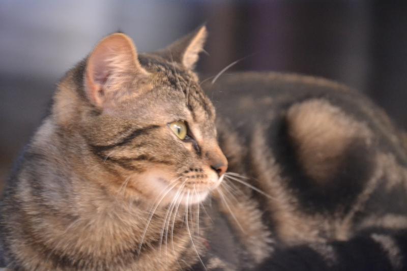 Jilly, femelle type européenne tigrée née 1er avril 2014 Dsc_1312