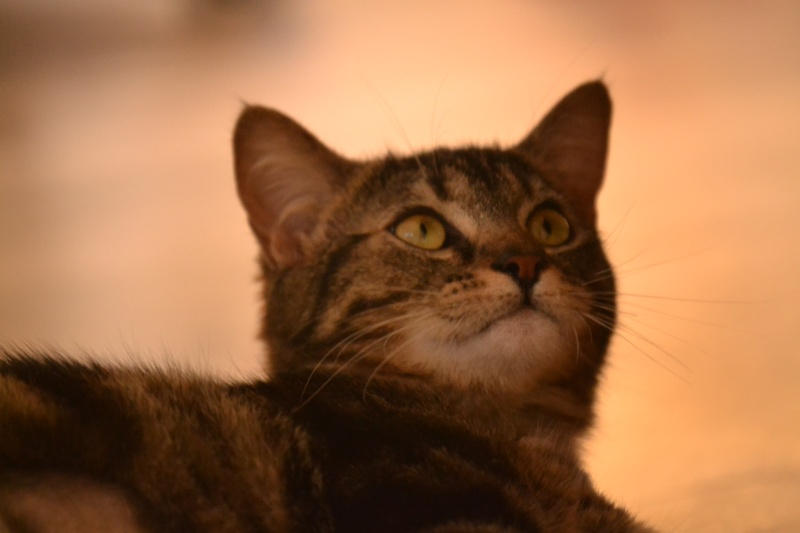 Jilly, femelle type européenne tigrée née 1er avril 2014 Dsc_1315
