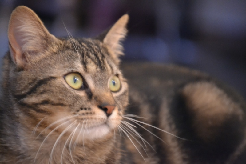 Jilly, femelle type européenne tigrée née 1er avril 2014 Dsc_1316