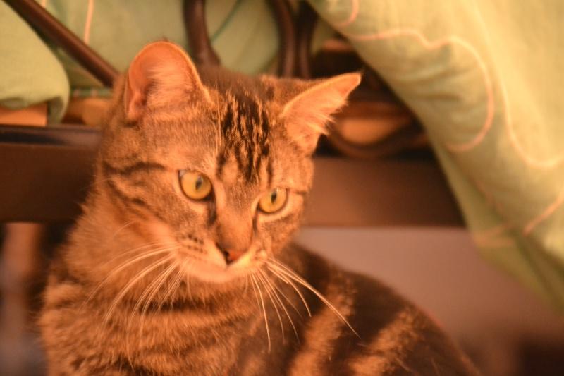 Jilly, femelle type européenne tigrée née 1er avril 2014 Dsc_1318