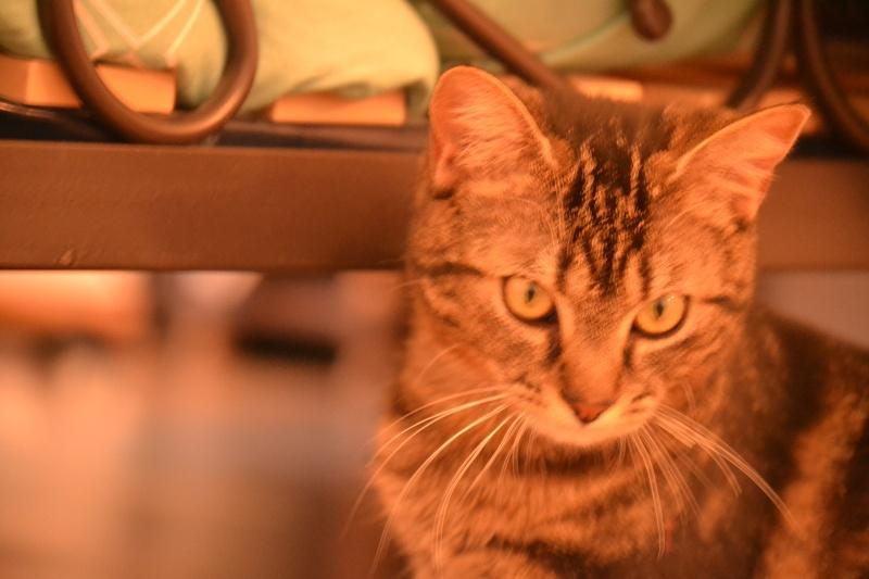Jilly, femelle type européenne tigrée née 1er avril 2014 Dsc_1319