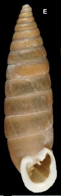 Granaria variabilis (Draparnaud, 1801) Captur10