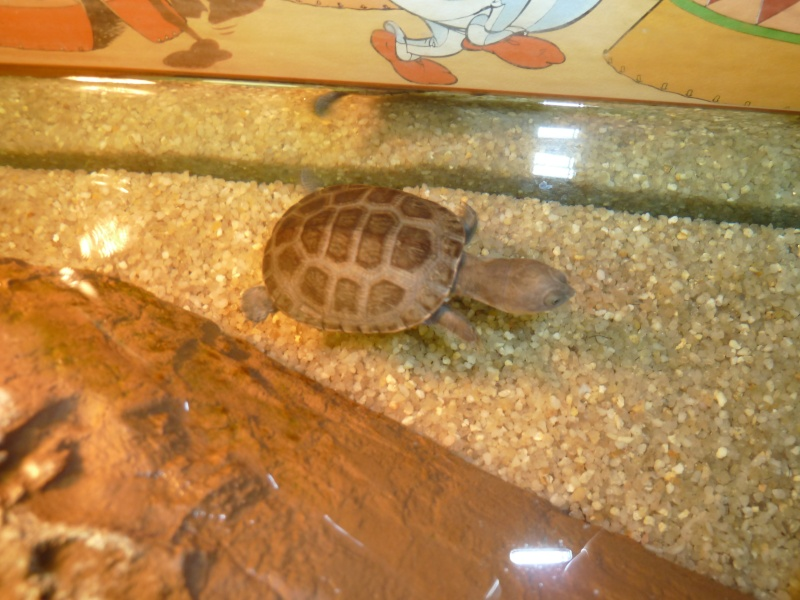 Tortues de Bébert81 Alfred10