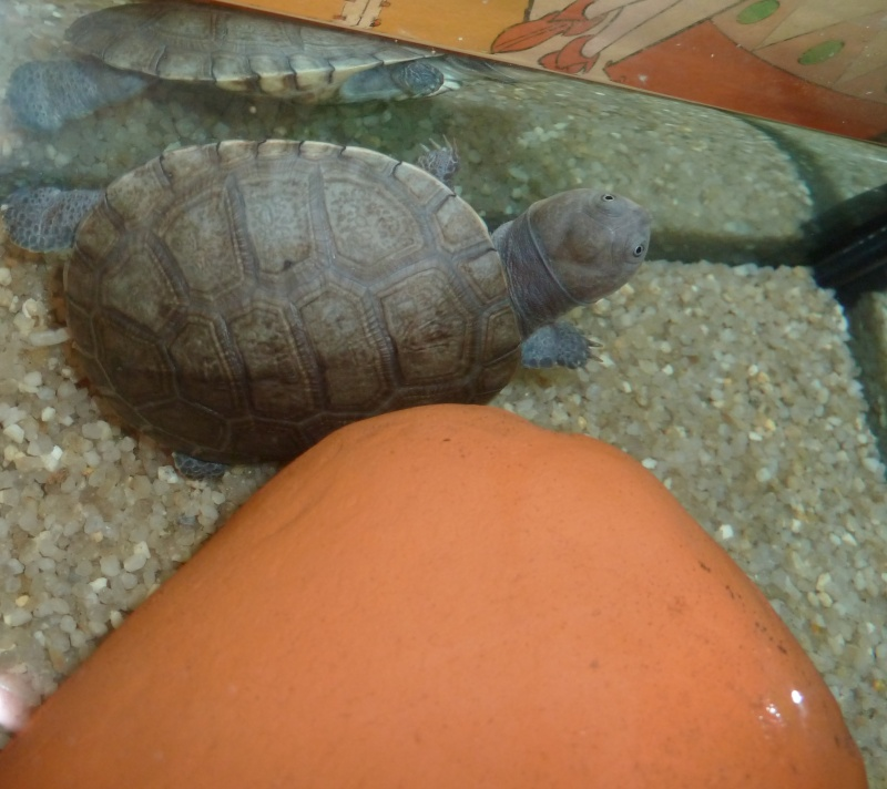 Tortues de Bébert81 Lola_d10