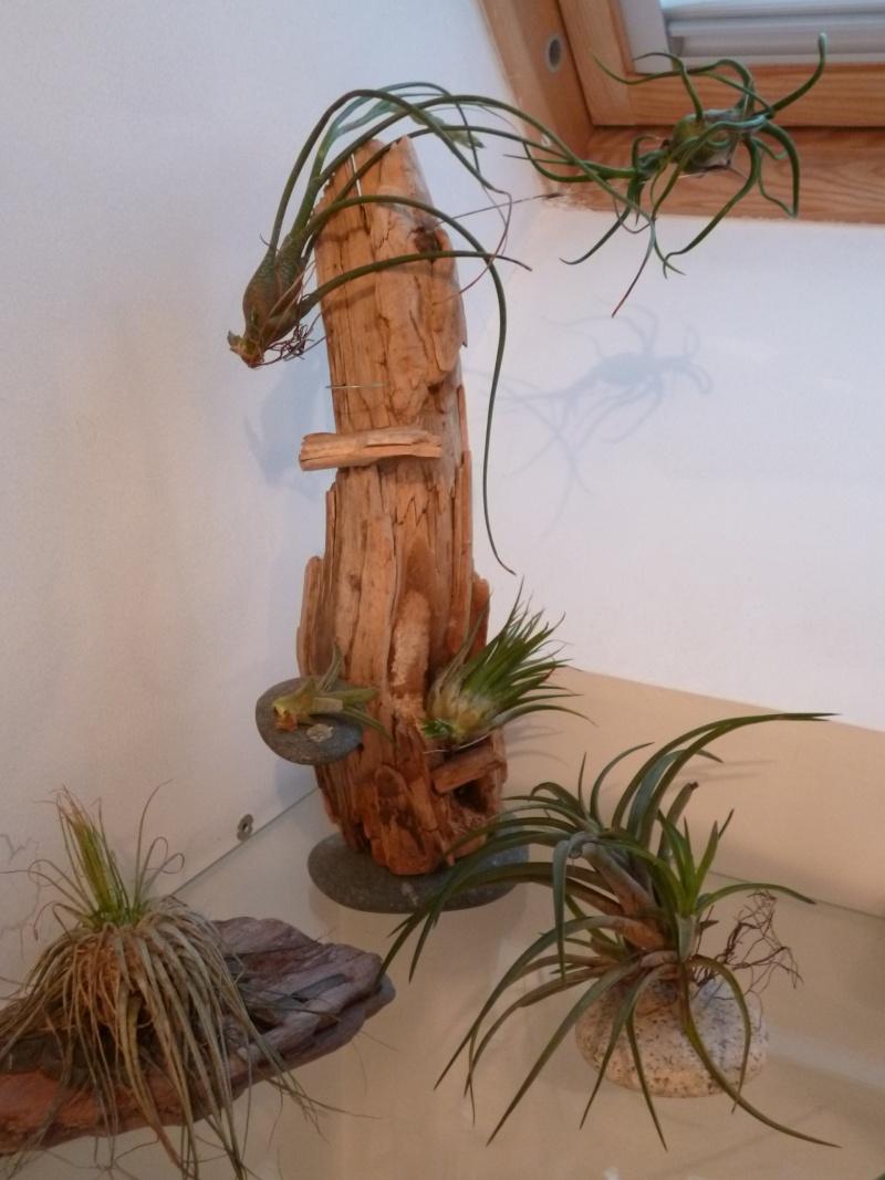 Tillandsias et autres Bromeliaceae 20121010