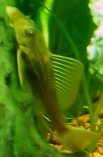 "Pterygoplichthys pardalis ""Gold form"" P1000910"