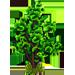 Vous cherchez un arbre ? Venez cliquer ici !!! Ginkgo13