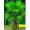 Vous cherchez un arbre ? Venez cliquer ici !!! Palm_t10