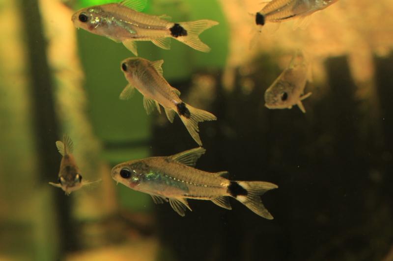 Corydoras hastatus/Hyphessobrycon elachys 40_lit11