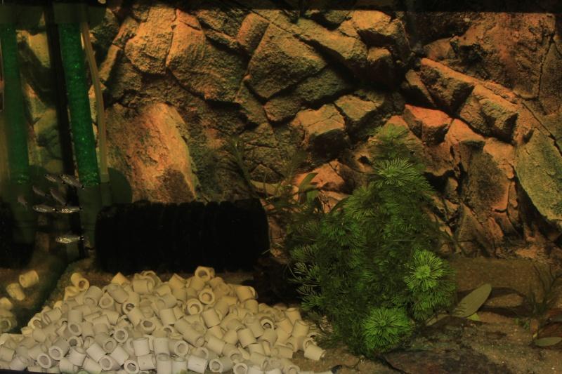 Corydoras hastatus/Hyphessobrycon elachys 40_lit16