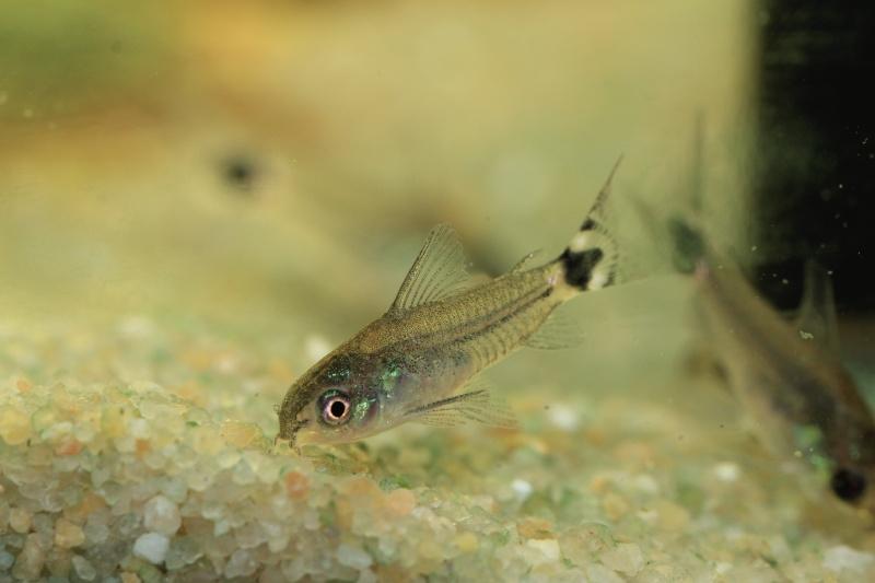 Corydoras hastatus/Hyphessobrycon elachys 40_lit23