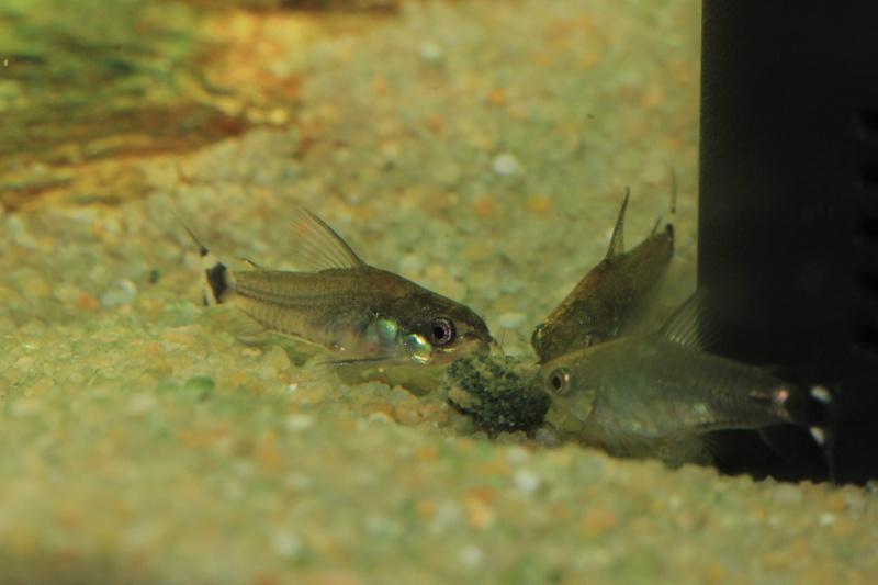 Corydoras hastatus/Hyphessobrycon elachys 40_lit24