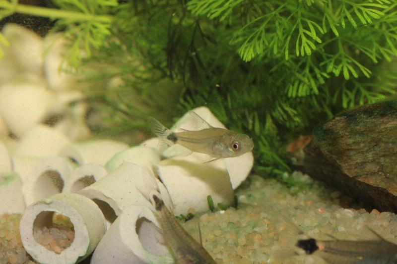 Corydoras hastatus/Hyphessobrycon elachys 40_lit27