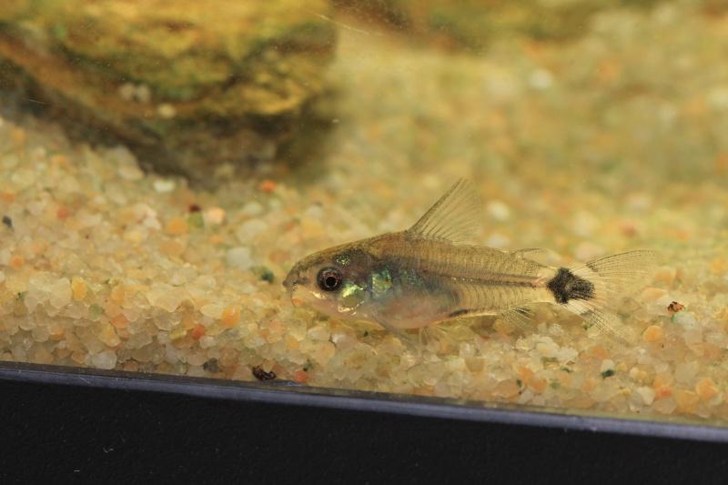 Corydoras hastatus/Hyphessobrycon elachys 40_lit29