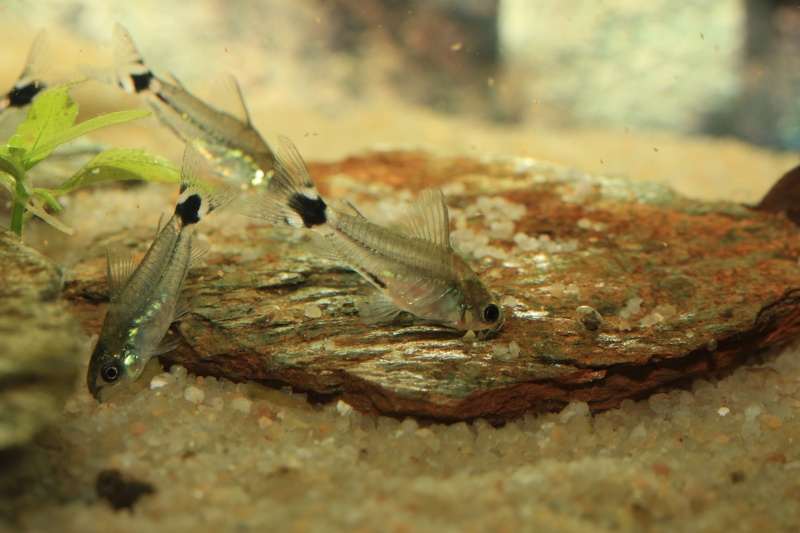 Corydoras hastatus/Hyphessobrycon elachys - Page 3 40_lit34