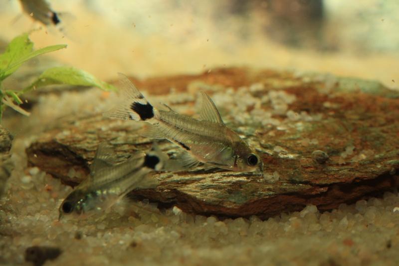 Corydoras hastatus/Hyphessobrycon elachys - Page 3 40_lit35