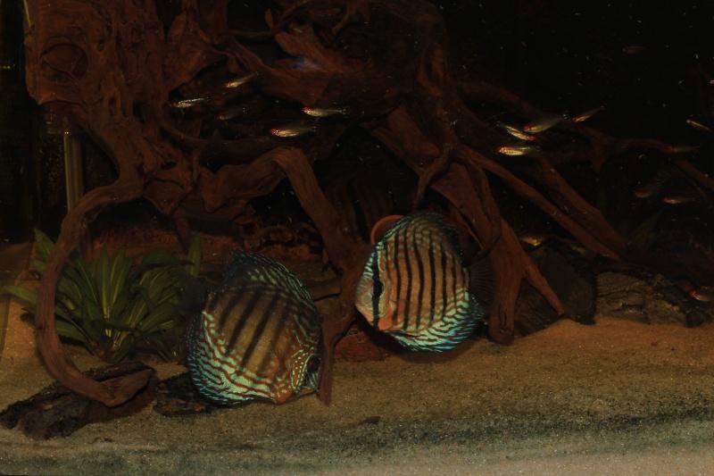 Symphysodon tarzoo rio ou lago Tefé Bleus_10