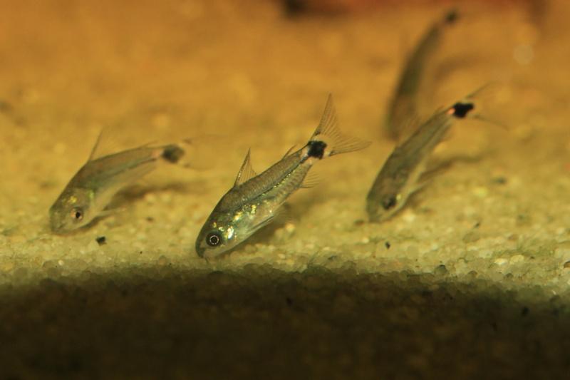 Corydoras hastatus/Hyphessobrycon elachys Corydo11
