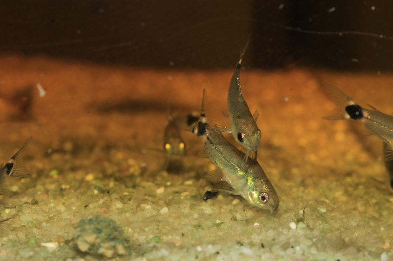 Corydoras hastatus/Hyphessobrycon elachys Corydo17