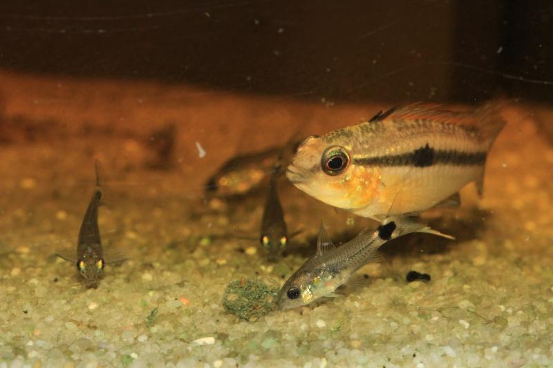 Corydoras hastatus/Hyphessobrycon elachys Corydo18