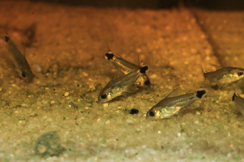 Corydoras hastatus/Hyphessobrycon elachys Corydo20