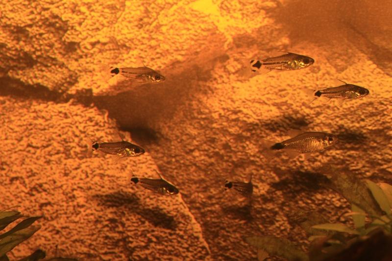 Corydoras hastatus/Hyphessobrycon elachys - Page 3 Corydo24