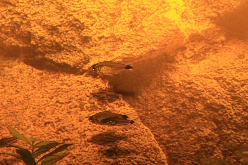 Corydoras hastatus/Hyphessobrycon elachys - Page 3 Corydo25