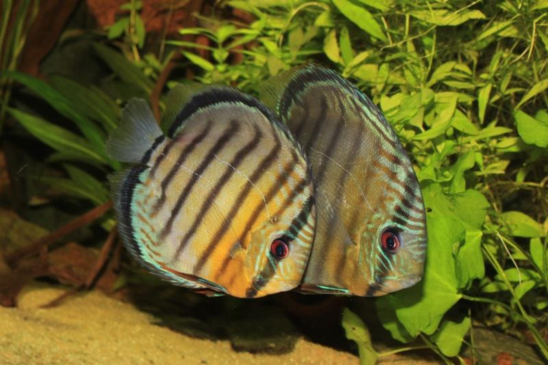 Symphysodon tarzoo rio ou lago Tefé Discus10