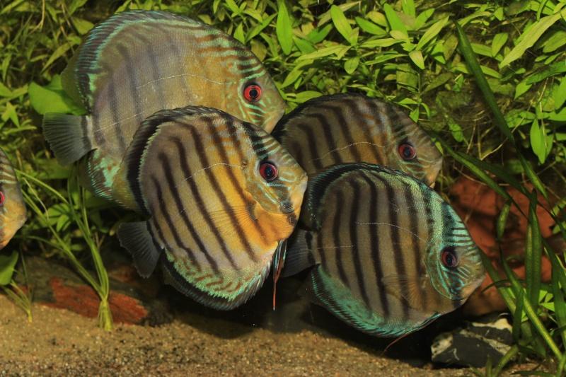 Symphysodon tarzoo rio ou lago Tefé Discus14