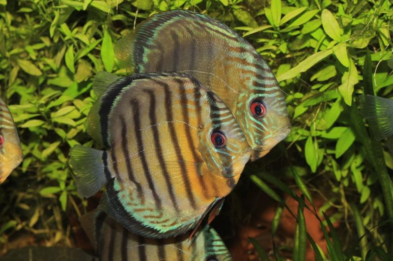 Symphysodon tarzoo rio ou lago Tefé Discus15