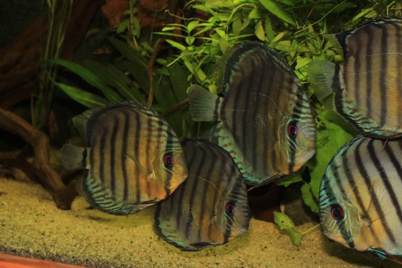 Symphysodon tarzoo rio ou lago Tefé Discus17