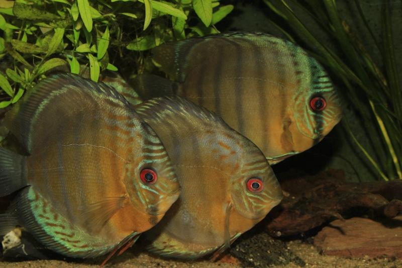 Symphysodon tarzoo rio ou lago Tefé Discus18
