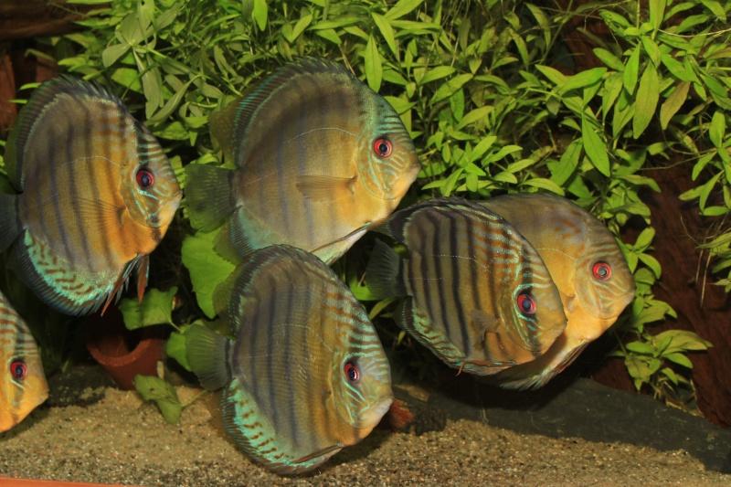 Symphysodon tarzoo rio ou lago Tefé Discus20