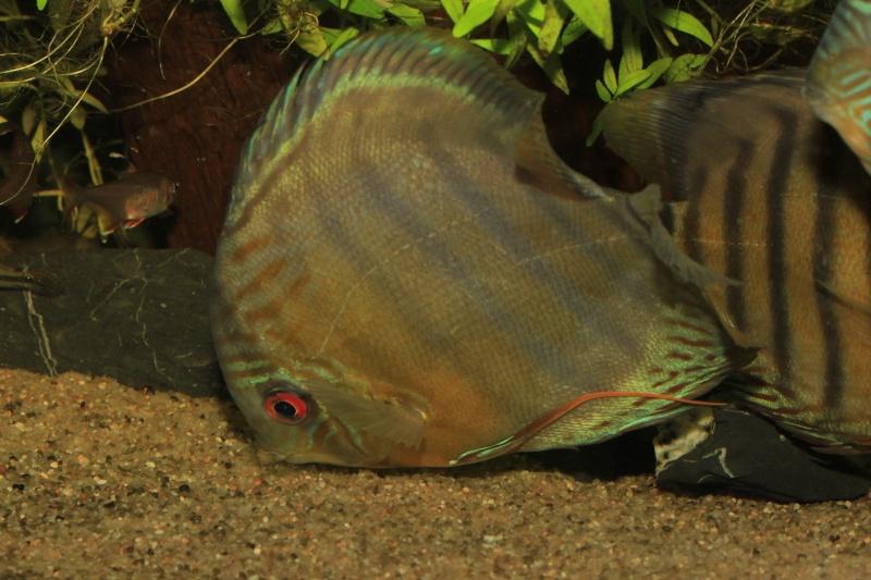 Symphysodon tarzoo rio ou lago Tefé Discus23