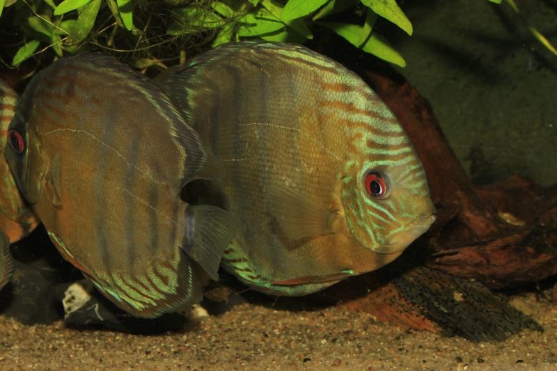 Symphysodon tarzoo rio ou lago Tefé Discus24
