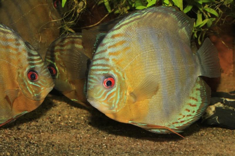 Symphysodon tarzoo rio ou lago Tefé Discus25