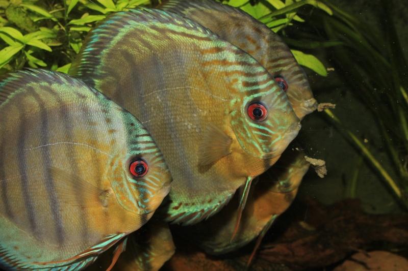 Symphysodon tarzoo rio ou lago Tefé Discus26