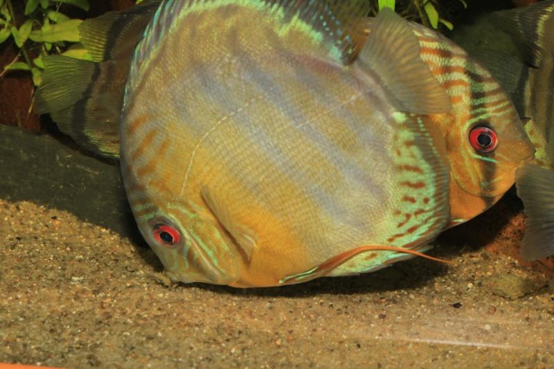 Symphysodon tarzoo rio ou lago Tefé Discus27