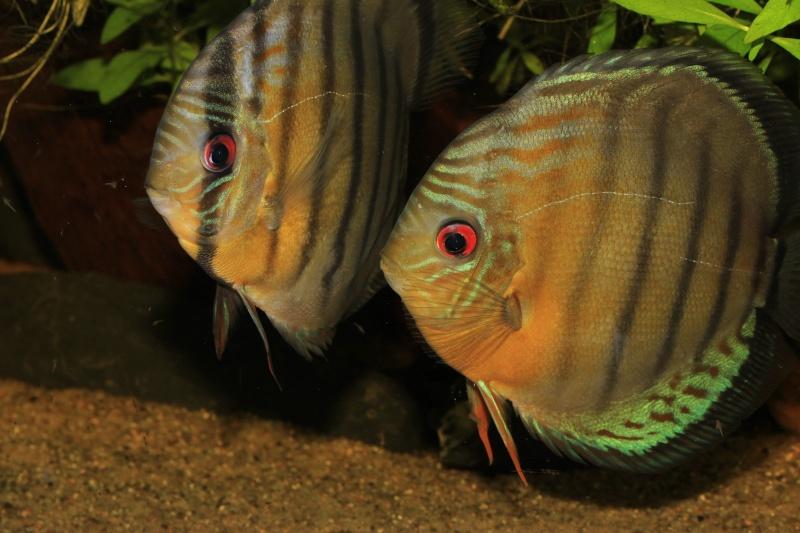 Symphysodon tarzoo rio ou lago Tefé Discus28