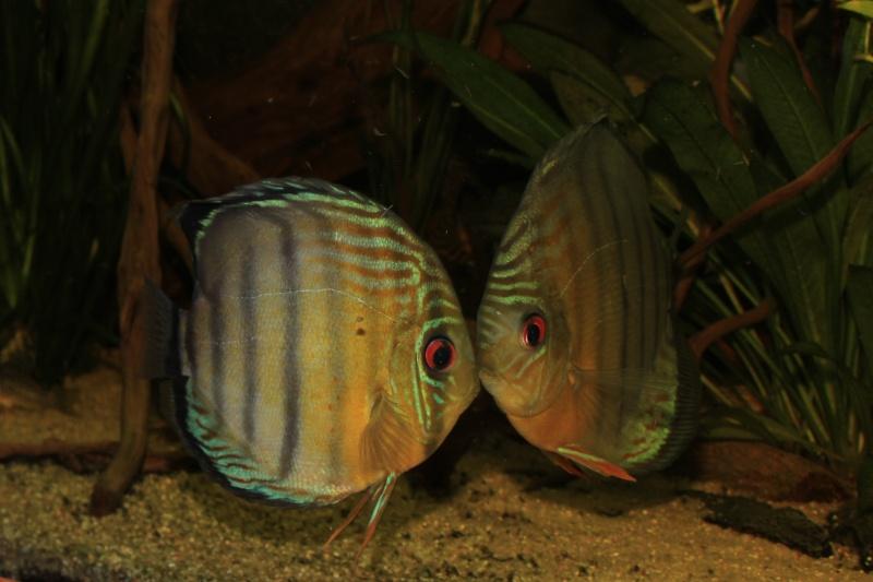 Symphysodon tarzoo rio ou lago Tefé Discus29
