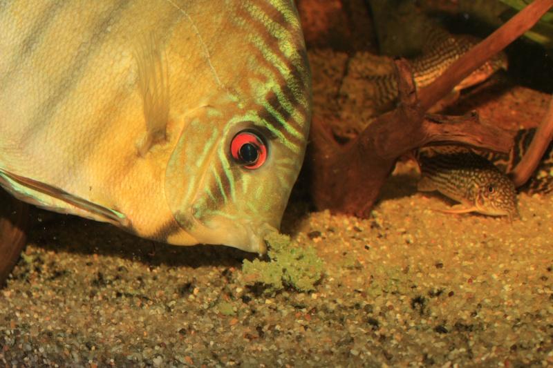 Symphysodon tarzoo rio ou lago Tefé Discus32
